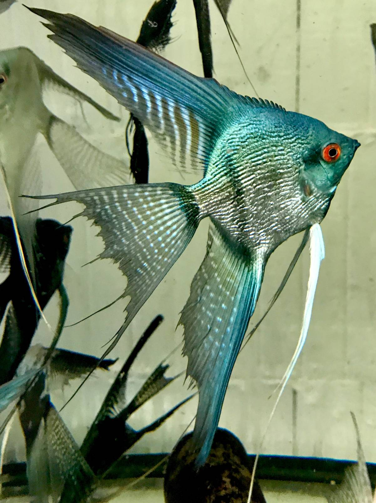 "Pterophyllum scalare ""Green Pinoy Pearl"""