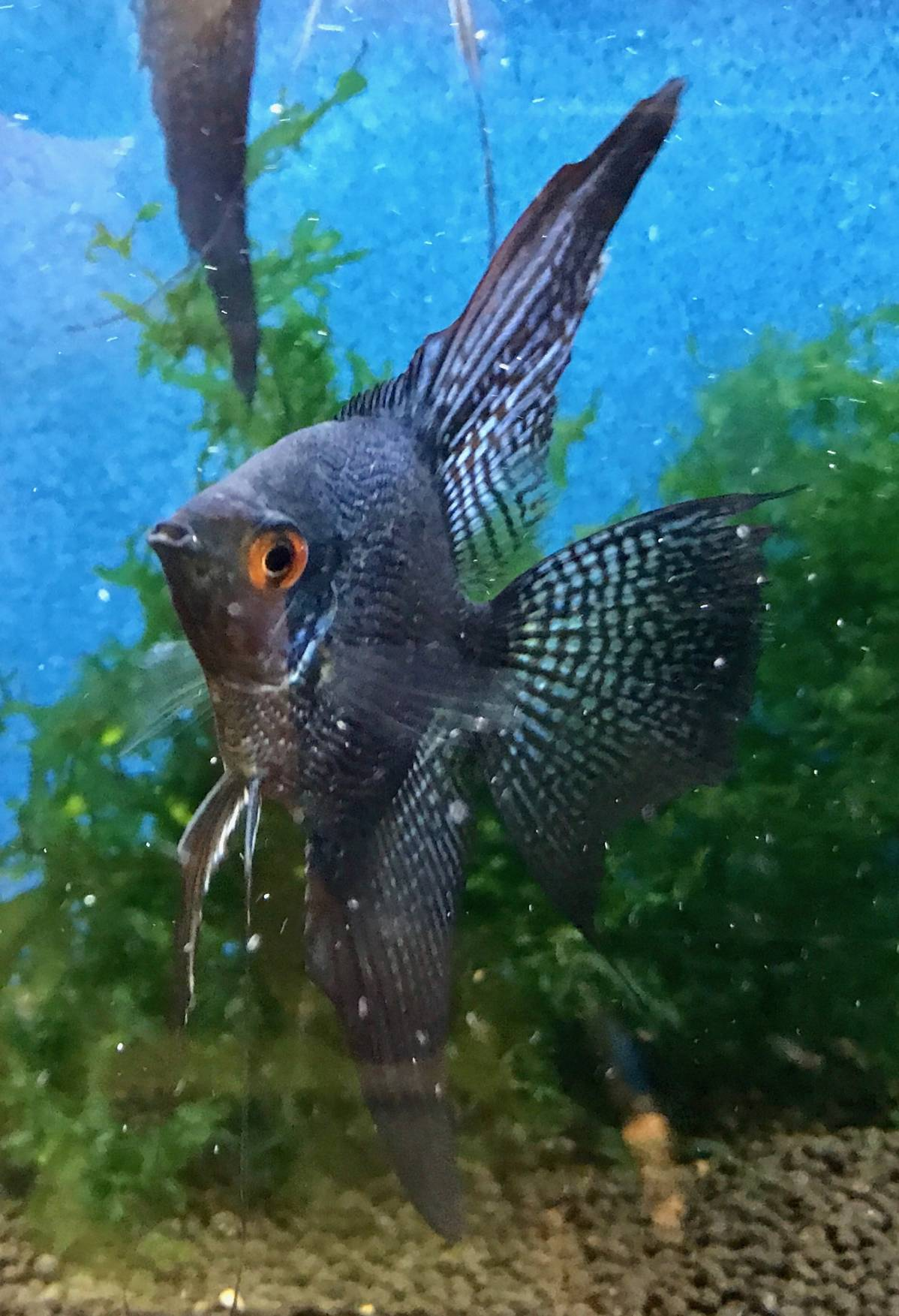 "Pterophyllum scalare ""Black Pinoy Pearl Veiltail"""